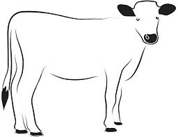 Elevato Chianina Calf