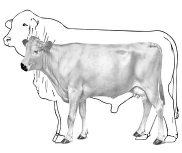 Elevato Chianina Bull and Cow