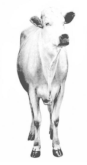 Elevato Chianina Cow Front