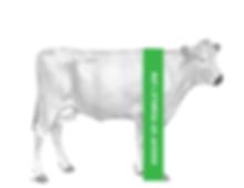 Elevato Chianina Cow Height