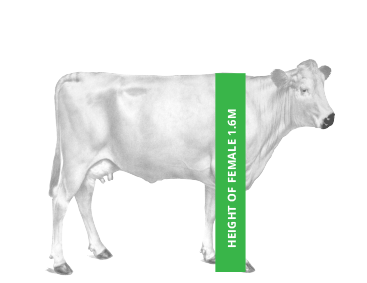 Elevato Chianina Cow Height