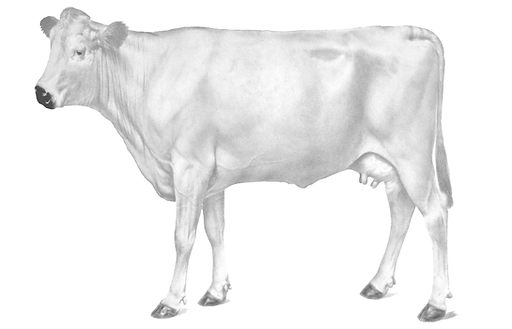 Elevato Chianina Cow Side