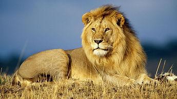 Lion, game tours, lion park, 7th street Melville, Johannesburg, wildlife