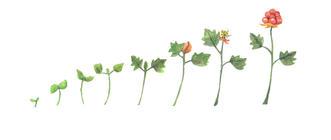 Cloudberries animation assets copy.jpg