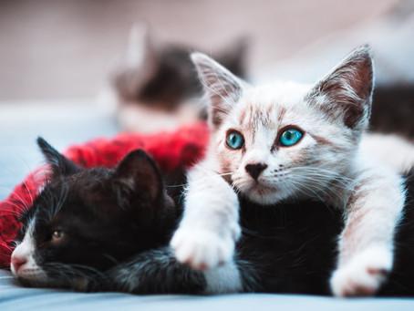 Como ocorre a transmissão de parasitas em gatos?