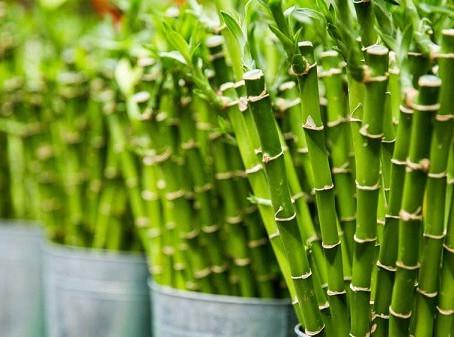 Bambu da Sorte: Prosperidade e Boas Energias Para Seu Ambiente