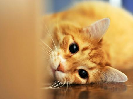 O coronavírus e os gatos