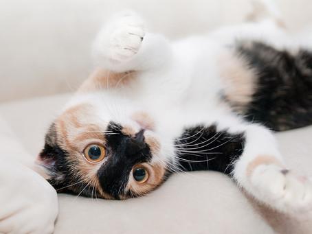 Como tirar o cheiro da urina de gato