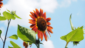 Saiba como cultivar girassol biológico