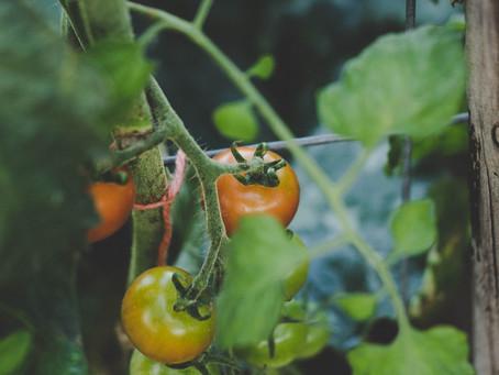 Repost - Os benefícios do tomate para a saúde