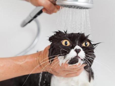 Dar banho a gatos faz mal?
