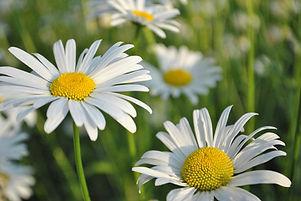 daisy-3444856_960_720.jpg