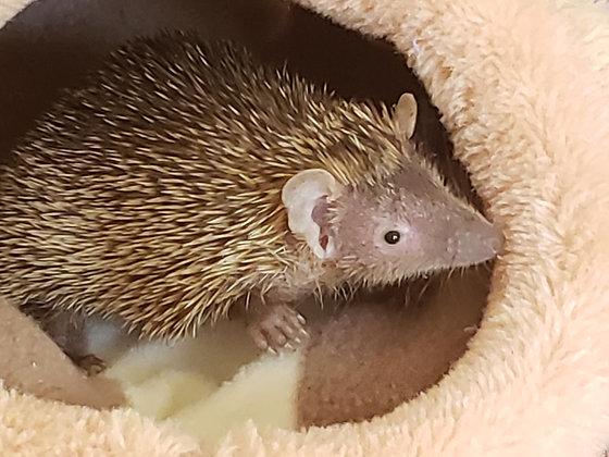 """Simon"" male Lesser Hedgehog Tenrec- Ready August (PIF G.Cannon)"