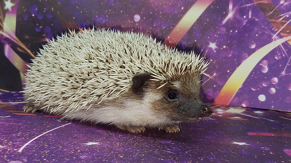 """""""Anne"""" Female Ready Now- (PIF +travel Reserved W.Gibson)"""