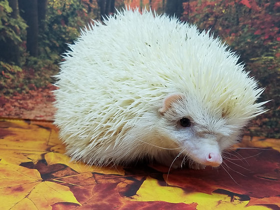 """""""Oak"""" male 7month old (PIF with shavings cage +2 hedgie bags S.Mikels)"""
