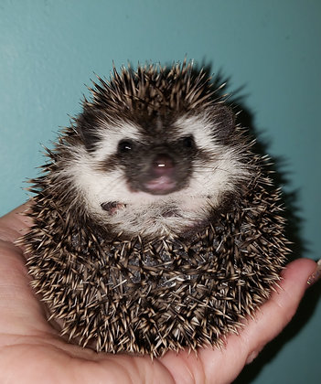 """""""Roulette"""" male Ready Feb- independent, huffy (PIF- K.Mehn)"""