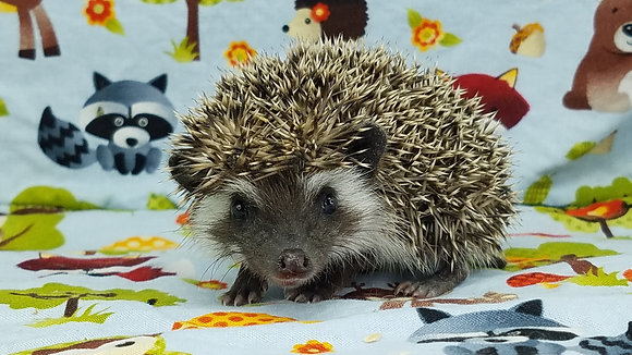 """""""Amaris"""" female Ready after 3/31 brown, snowflake badger (PIF J.Cox)"""