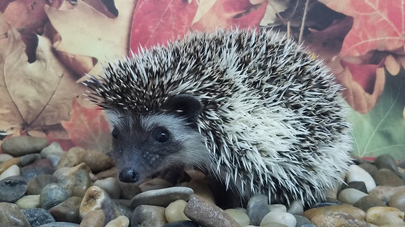 """Caesar"" Male Ready Now- likes being held (PIF N.Roberson)"