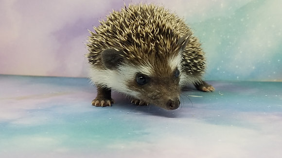 """Phebe"" female Ready Jan 20-28 (PIF +cage kit w/liner S.Hill)"