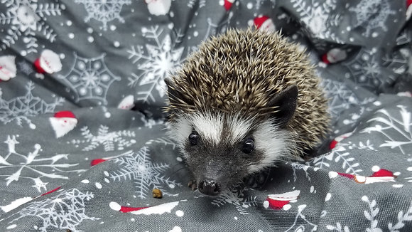 """""""Erie"""" male Ready 12/19 (PIF +hedgie bag Z.Cortright)"""