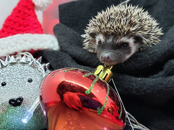 """""""Quarry"""" male Ready after 12/11- (PIF holiday cage kit-P.Sillies)"""