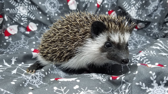 """""""Eugene"""" male Ready 12/19 (PIF +buddy bed, travel to ROCKY mount L.Drumm)"""