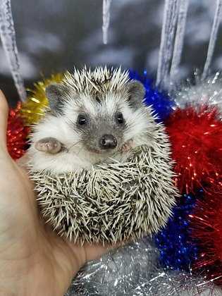 """""""Greeley""""female $300(PIF + 2 liner cage kit, buddy bed, CHE bulb- C. Sharpe)"""