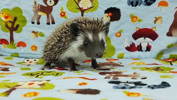 """""""Aster"""" male Ready after 3/31 brown snowflake, badger (PIF E.Walters)"""