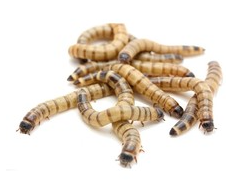Superworms