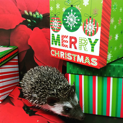 Holiday Hedgie Advance PIF Reserve (#8 Dec.litters D.ma)