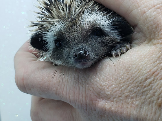 """""""Anaheim"""" male Ready after 4/23 (PIF K.Ito)"""
