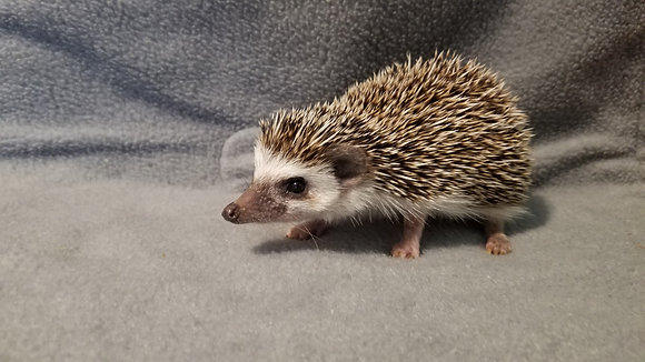 """Damon"" Male Ready Now -super friendly (PIF +cage Meekins)"