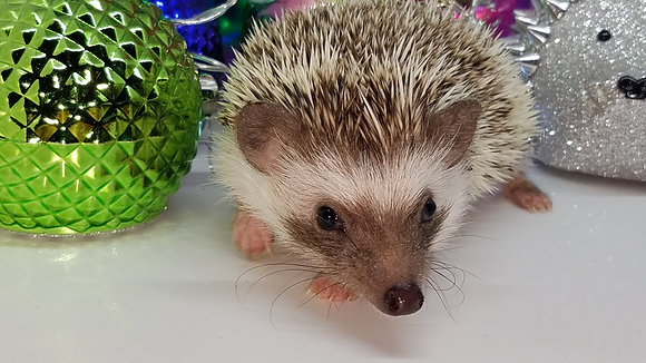 """""""Macey"""" female Ready after 10/11-small and friendly (PIF+specialheat kitB.Coltz)"""