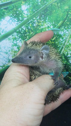 """Nibs"" female Lesser Hedgehog Tenrec- Ready September (J.Rooney)"