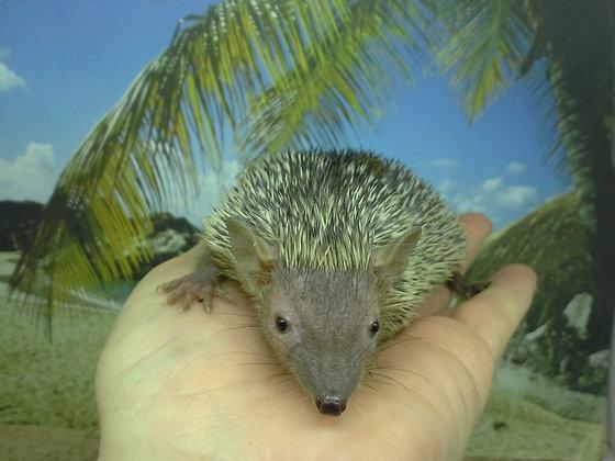"""""""Rooster"""" Lesser Hedgehog Tenrec (PIF K.G.)"""