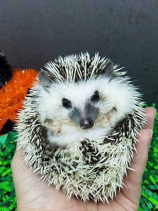 """""""Declan"""" male Ready Now ($150 balance due at pick up S.C.) RM-Nov10thpreferred"""