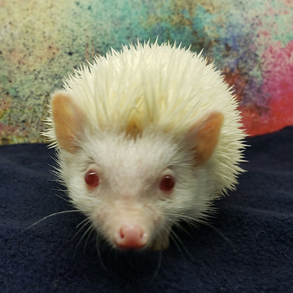 """Ricotta"" male Ready late Jan- handsome, so sweet (PIF +cage kit M.Mishler)"