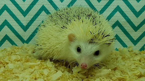 """Aegean"" Male Ready Now- average to friendly (PIF +cage kit D.Riopta)"