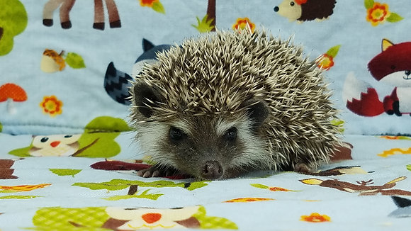 """""""Aubin"""" male Ready after 3/31brown snowflake, badger (PIF +travel,A.Thompson)"""