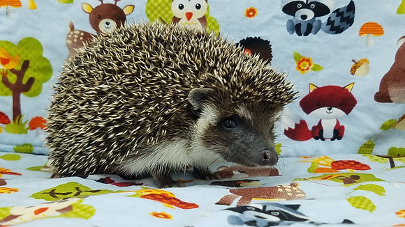 """""""Enzo"""" male - young adult under a year (PIF +cage 1 line J.Johnson)"""
