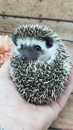 """""""Tally"""" Female Ready Now friendly,  (PIF +cage combo M.Prendergast)"""