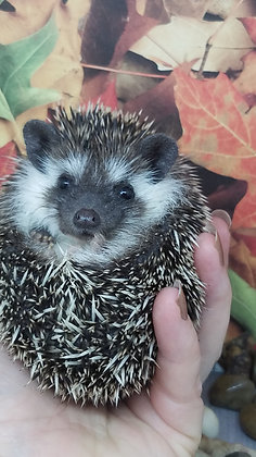 """""""Clark"""" Male Ready after 8/13 (PIF +cage kit K.Guinn)"""