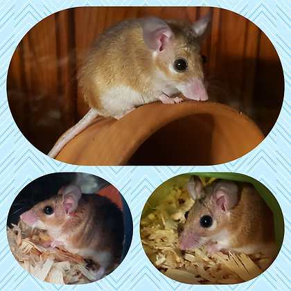 3 Spiny Mice Males Ready Now