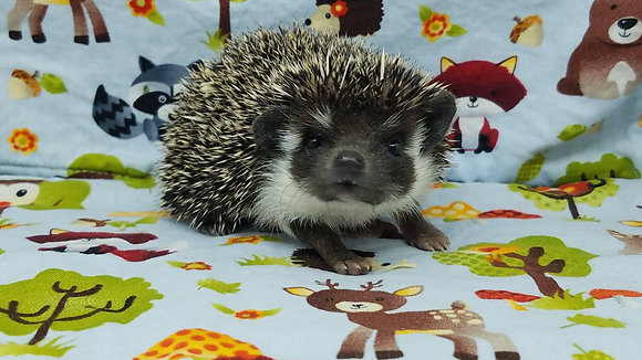 """Edna"" female Ready after 4/5 dark, tri badger (PIF J.Wentworth)"
