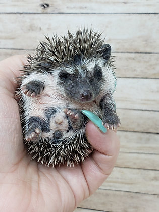 """""""Pepper"""" male Ready after 3/22-  (PIF -P. Muench)"""