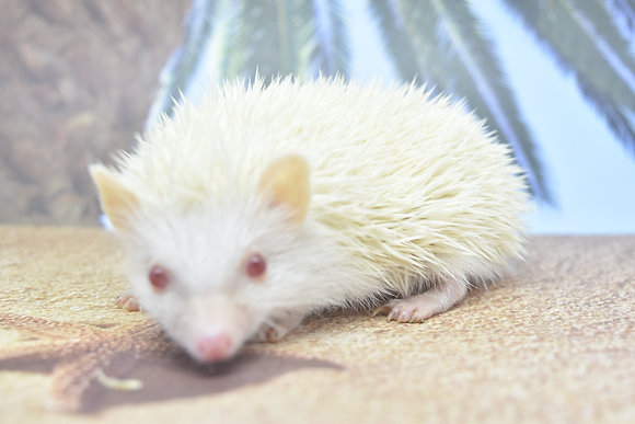 """""""Colby"""" male Ready 4/24 (not albino, pinto)"""