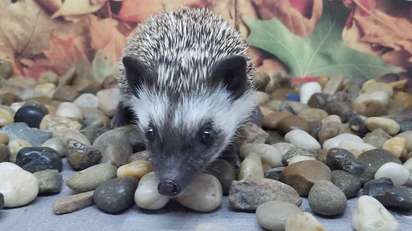 """""""Ingrid"""" Female Ready Now- friendly (PIF+travel D.Tocci)"""