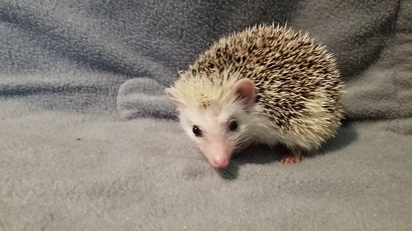 """""""Tew"""" Male Ready Now- improving with handling, friendly after he gets to explore"""