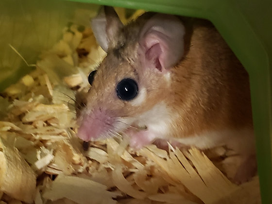 Spiny Mice with Complete Cage Set Up (includes 2 same sex mice)