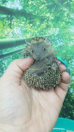 """Slightly"" male Lesser Hedgehog Tenrec- Ready Now"